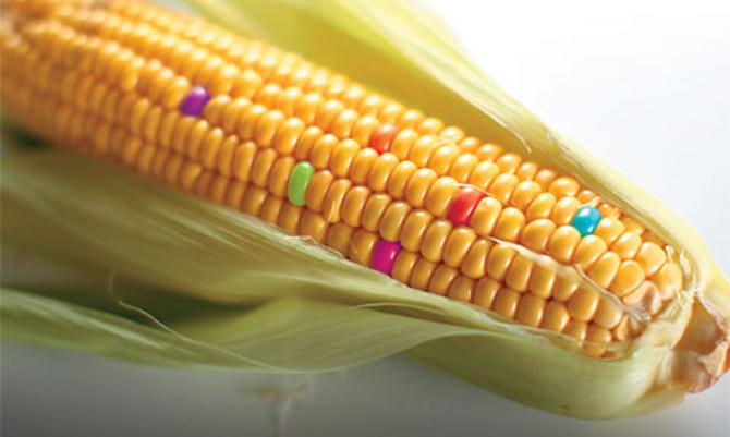 基因改造食物:不符自然恐影響人類及環境